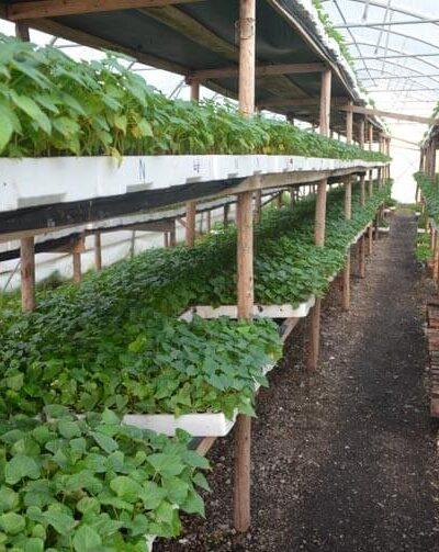 sadnice batata